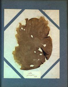 Ulve pourprée (Ulva purpurea)